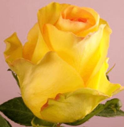 Rose - Deja Vu
