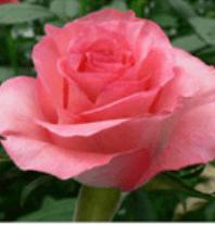Rose - Dekora