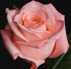 Rose - Engagement