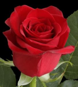 Rose - Freedom