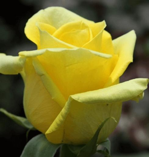 Rose - Gold Strike