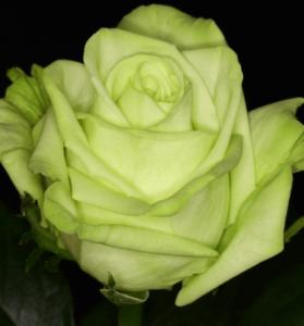 Rose - Green Tea