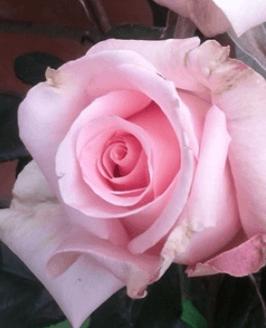 Rose - High & Divine