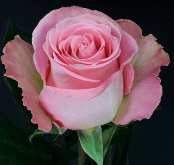 Rose - Hermosa