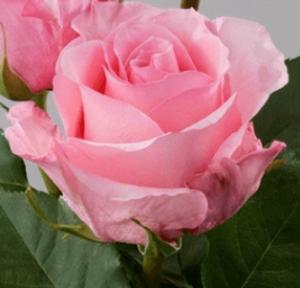 Rose - High & Bonita