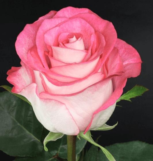 Rose - High & Candy