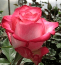 Rose - High & Mya (Dark Pink)