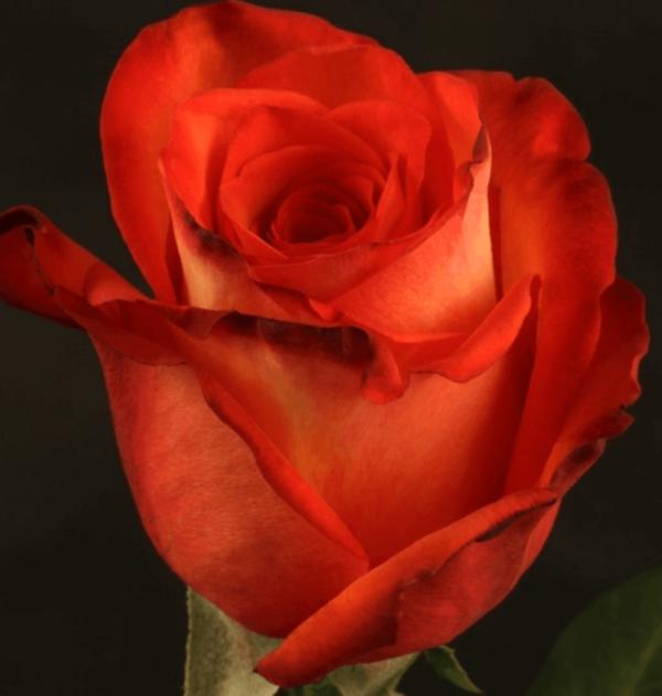 Rose - High & Orange