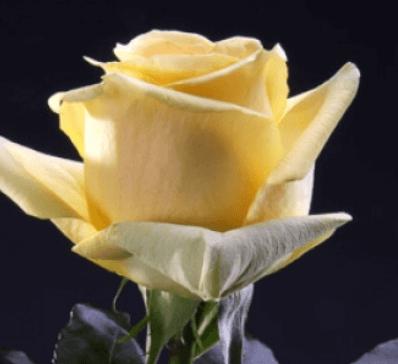 Rose - Hummer