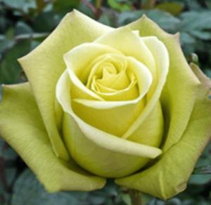 Rose - Jade