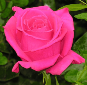Rose - Kiko (Dark Pink)