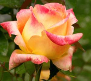 Rose - Konfetti