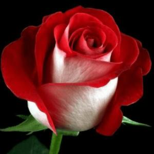 Rose - Latin Lady