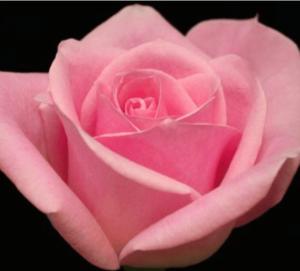 Rose - Light Orlando