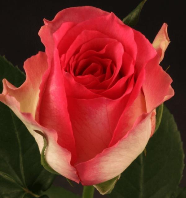 Rose - Limbo (Dark Pink)