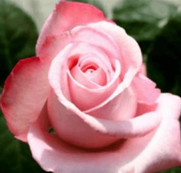 Rose - Livia