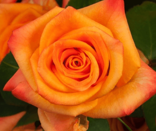 Rose - Miracle