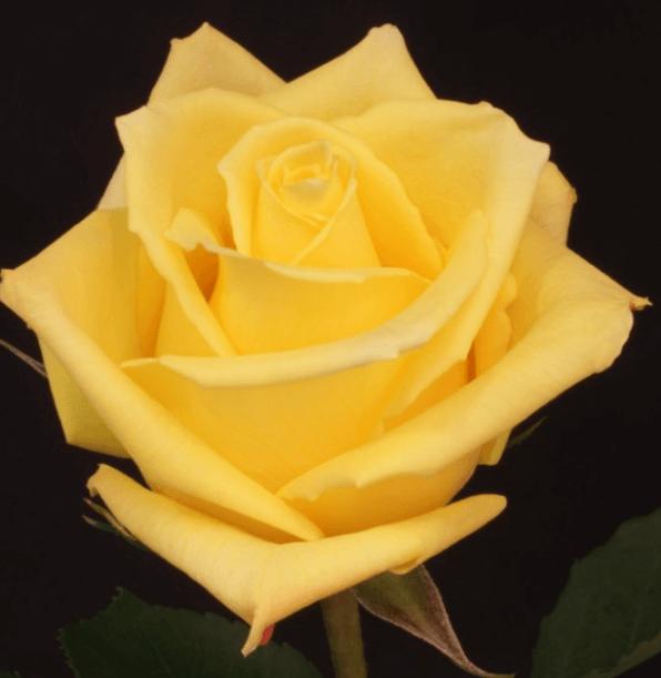 Rose - Mohana