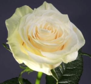 Rose - Mondial