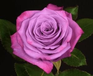 Rose - Moody Blue