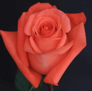 Rose - Moviestar