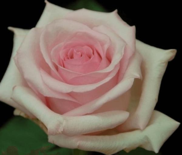 Rose - Nena