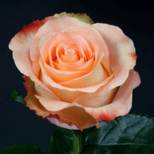 Rose - Peach Audabe