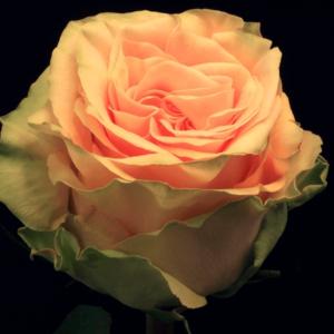 Rose - Peach Finesse