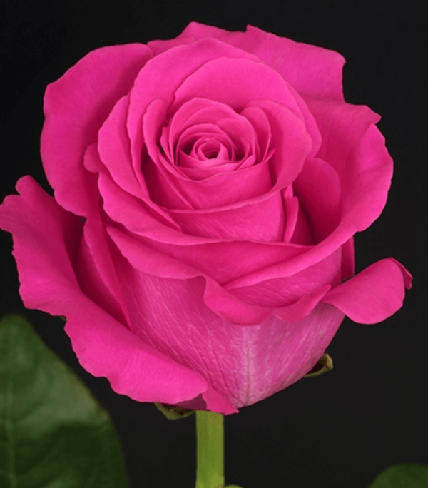 Rose - Pink Floyd (Dark Pink)