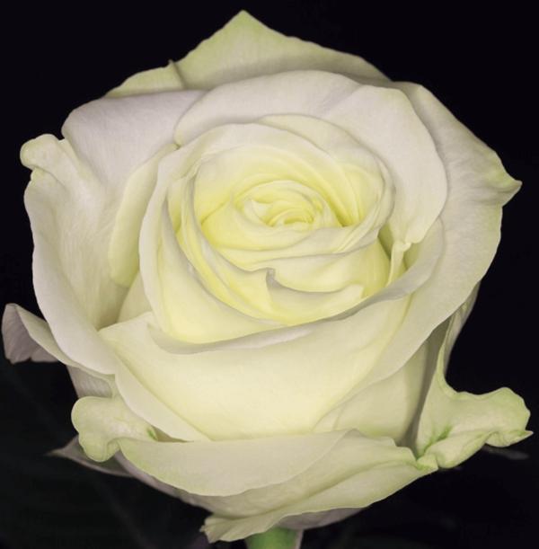 Rose - Polar Star