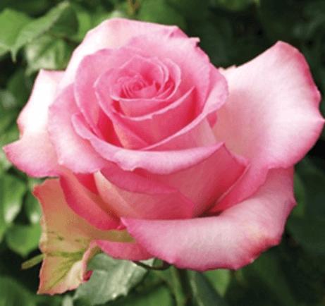 Rose - Priceless