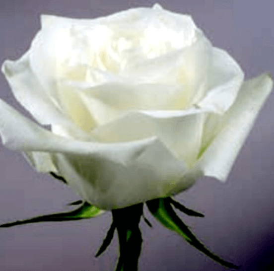 Rose - Proud