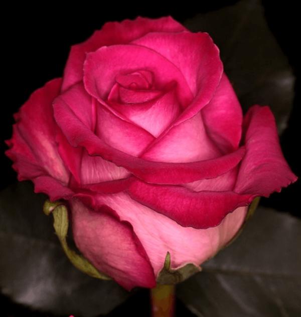Rose - Purple Cezanne (Dark Pink)