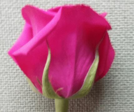 Rose - Queen Berry (Dark Pink)