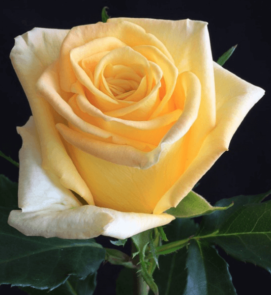Rose - Skyline