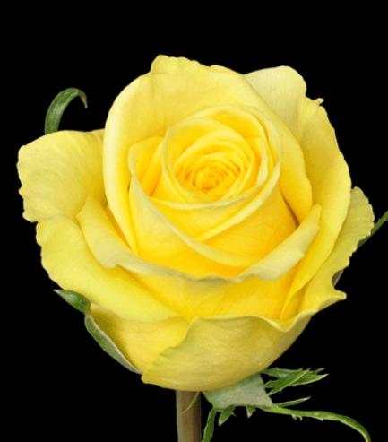 Rose - Stardust