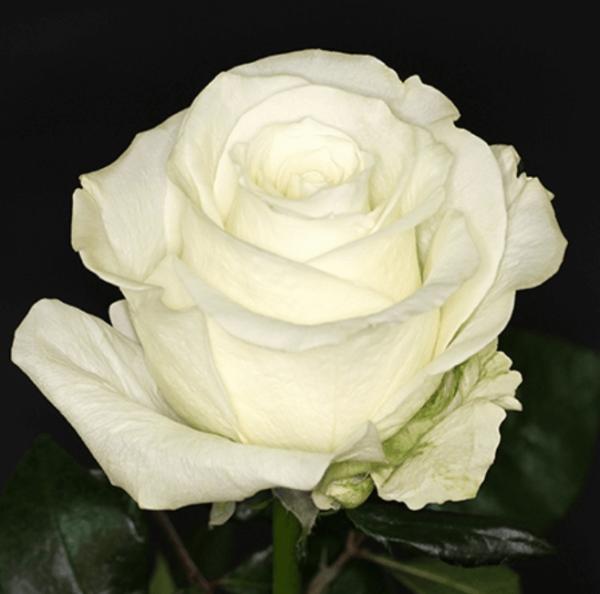 Rose - Tibet