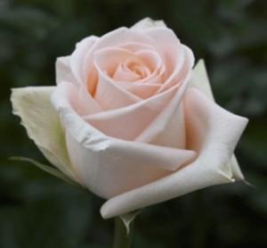 Rose - Tiffany