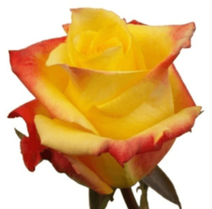 Rose - Tressor 2000