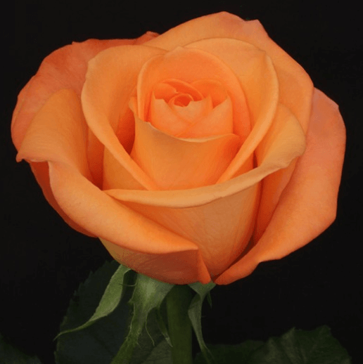 Rose - Tropical Amazone