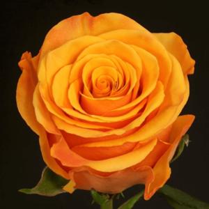 Rose - Tycoon