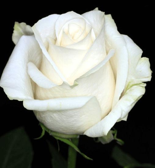 Rose - Vendela