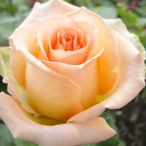 Rose - Versilia