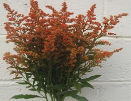 Tinted Aster (Orange)
