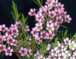 Waxflower - Dark Pink