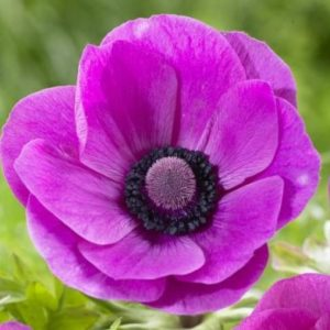 Anemone - Hot Pink