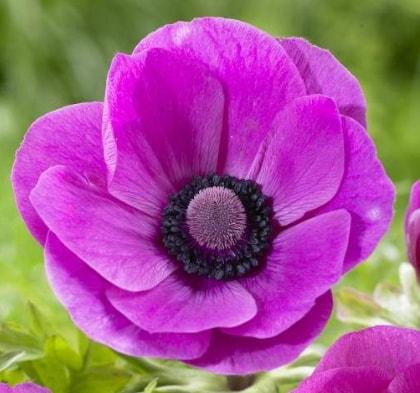 Anemone - Hot Pink