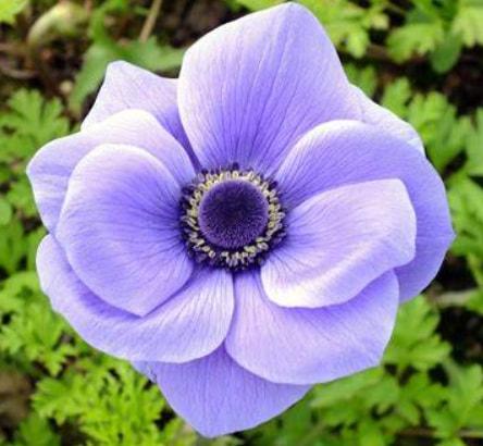 Anemone - Lavender