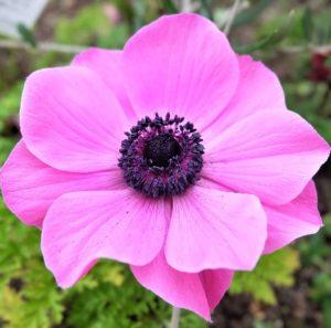 Anemone - Pink