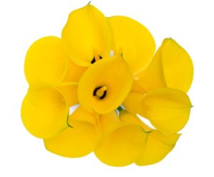 Calla Lilly Mini - Florex